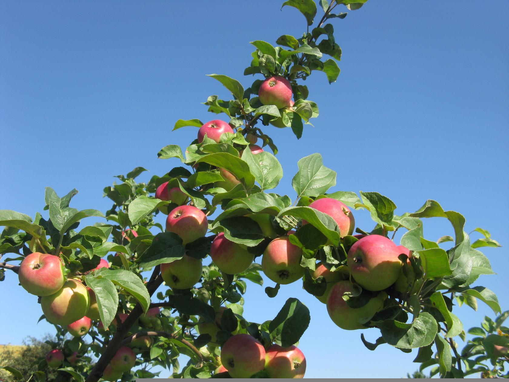 Виды, типы и сорта яблонь с фото и 51