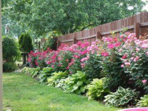 розы и хосты сочетание