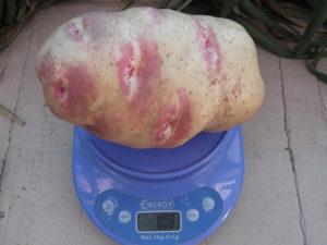 картофель пикассо описание