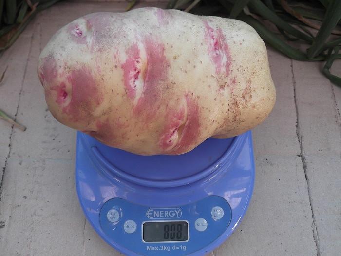картофель пикассо описание фото