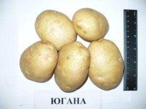 картофель югана описание фото