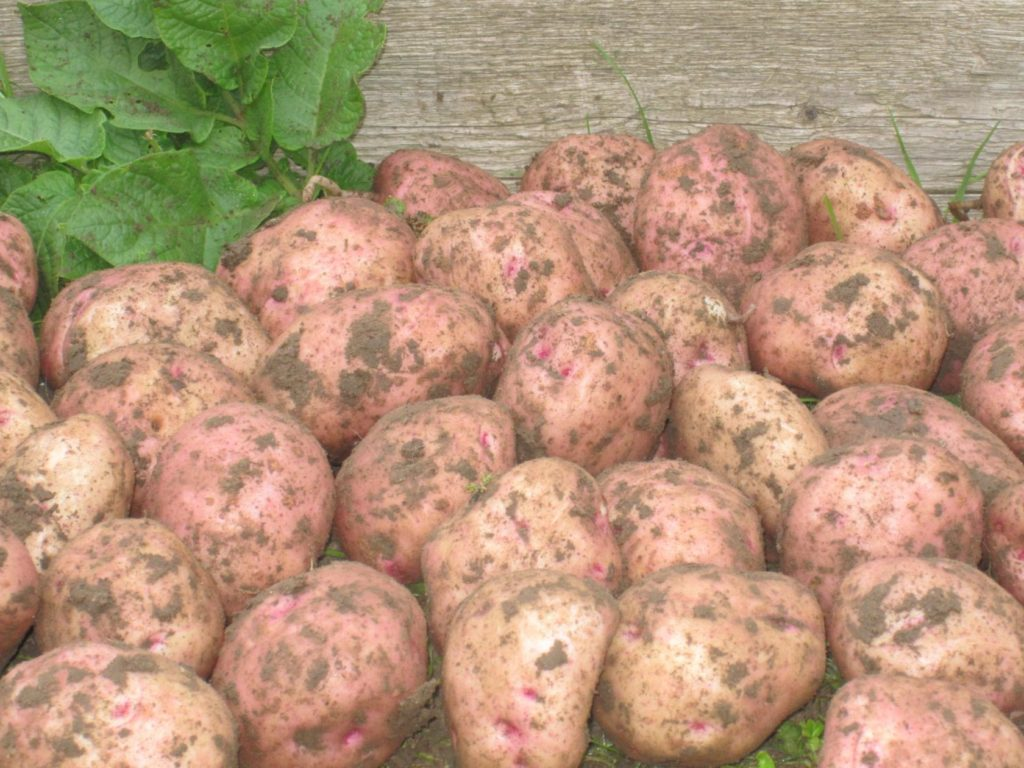 картофель ильинский фото