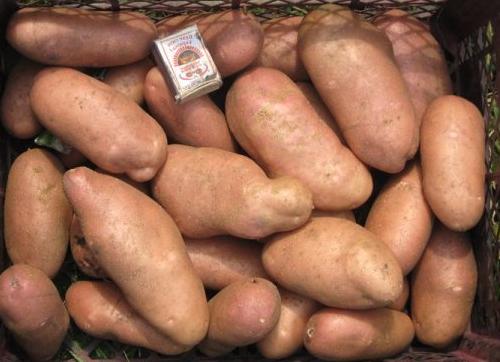 картофель Американка фото