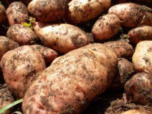картошка сорт американка