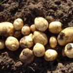 картофель Антонина