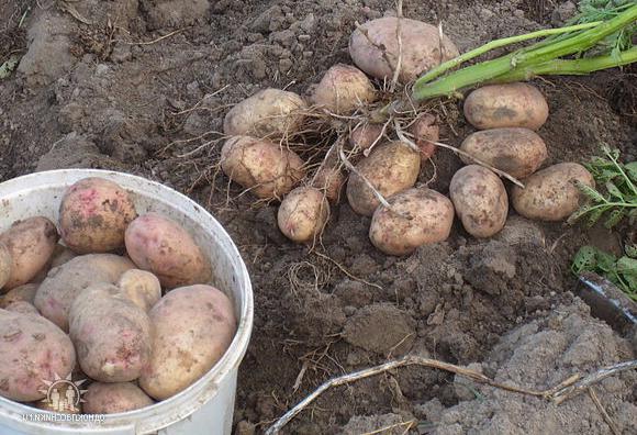 картофель Аврора фото