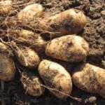 картофель Барс