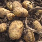 картофель Беттина