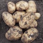 картофель Богатырь