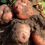 картофель Брянский удачный