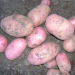 картофель Евгения