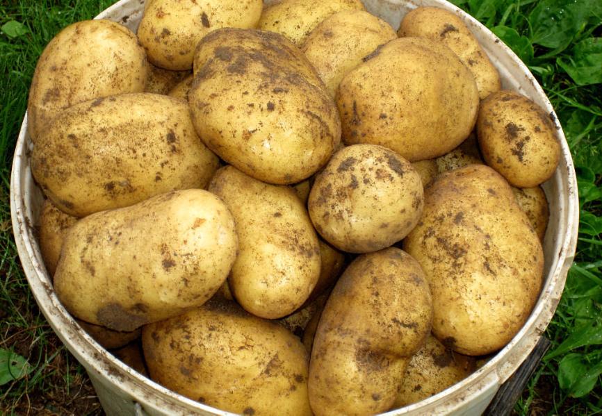 состоит свежевыкопанный картофель гала фото прямоугольник утеплителя склеили