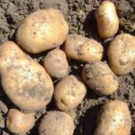 картофель Жанна