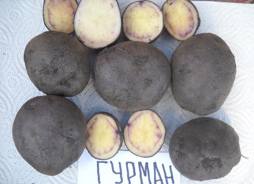 картофель чугунка описание сорта фото отзывы рецепт