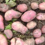 картофель Идеал