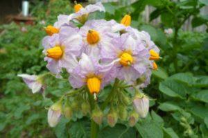 цветет картофель ильинский