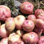 картофель Иван да Марья