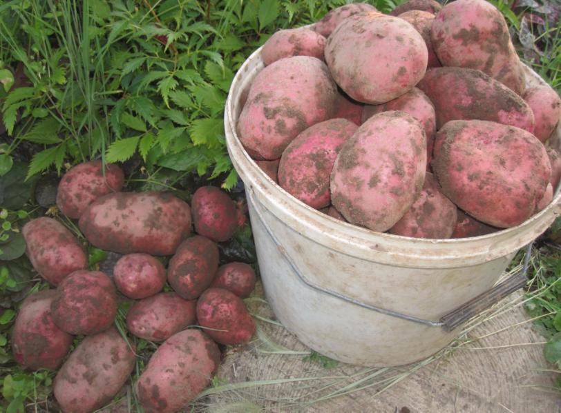 выбор картофель фото и названия окончания школы поступила