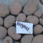 картофель Кардинал