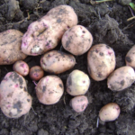 картофель Кладезь