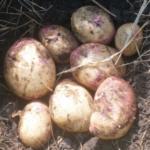 картофель Красавка
