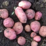 картофель Кузьмич