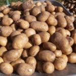 картофель Лазарь