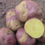 картофель Мисс Блаш