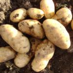 картофель Нэмри