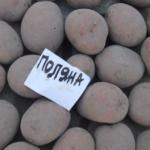 картофель Поляна