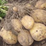 картофель Престиж