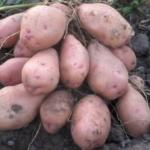 картофель Ранняя роза