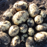 картофель Салин