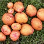 картофель Саровский