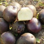 картофель Шаман