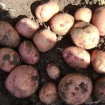 картофель Соточка