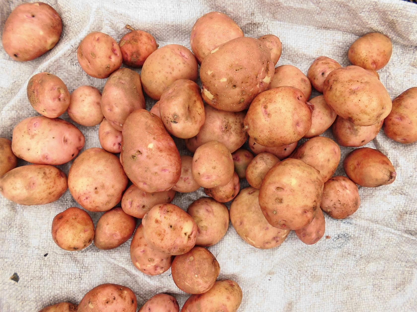 рассыпчатые сорта картофеля для урала