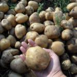 картофель Танай