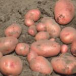 картофель Юбиляр