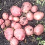 картофель Югра