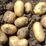 картофель Юнита