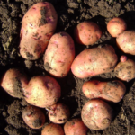 картофель Восход
