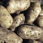 картофель Золушка