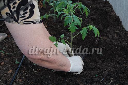 календарь посадки томатов