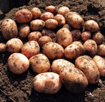картофель аврора описание