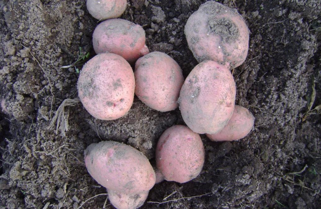 картофель хозяюшка фото