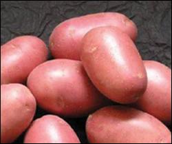 картофель хозяюшка описание сорта отзывы фото