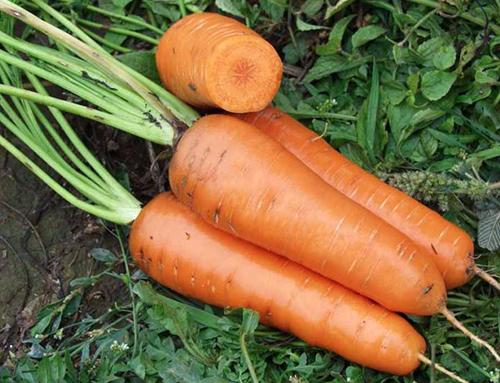 морковь лучшие сорта