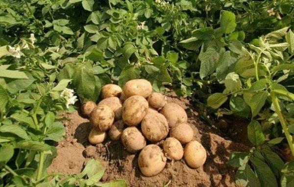 картофель метеор фото