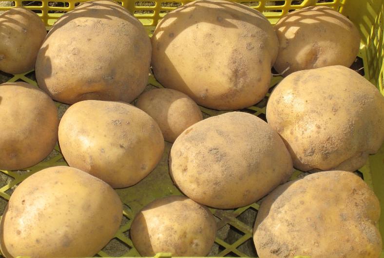 картофель тимо фото